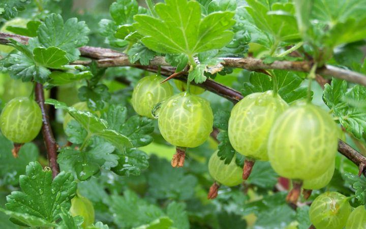 Gooseberry-spring.jpg